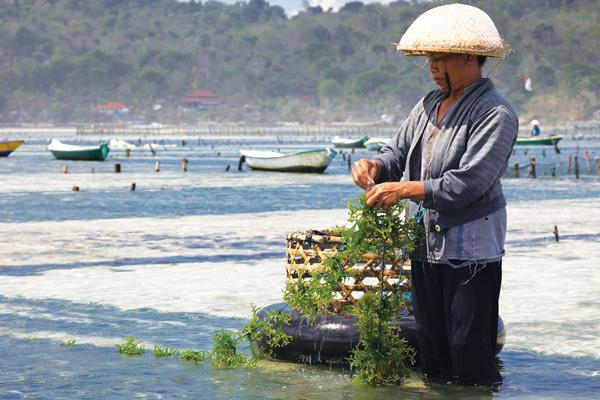 Thanks to Microsoft and it's involvement with NGOs, Bail's seaweed farmers effectively target their product. Photo: Jean-Marie Hullot