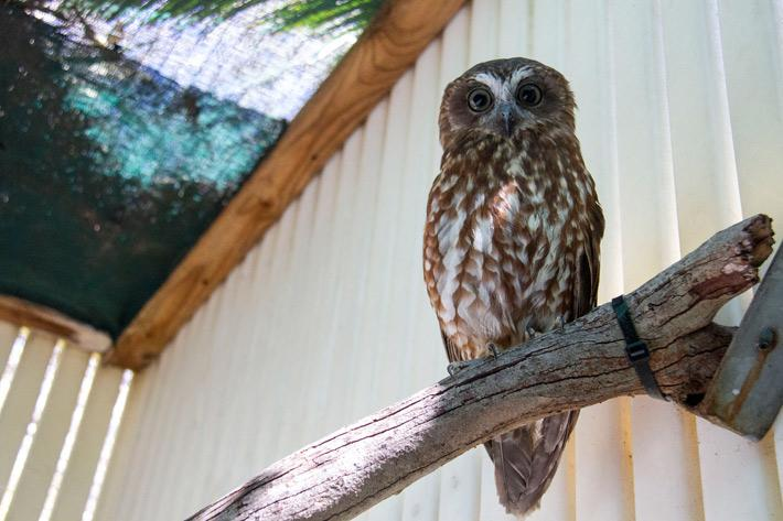 The Boobook owl at the Taronga Wildlife Hospital